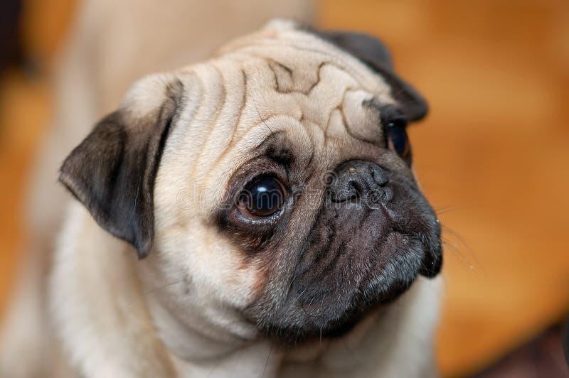 Pug stock foto