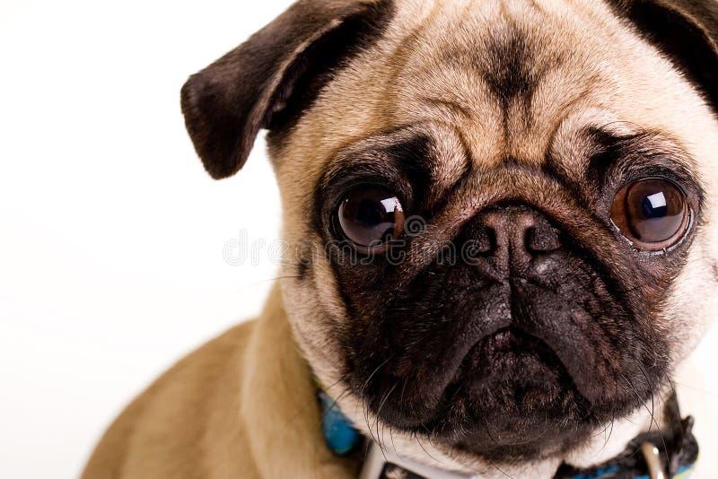 Pug. A cute Pug Dog face stock photos