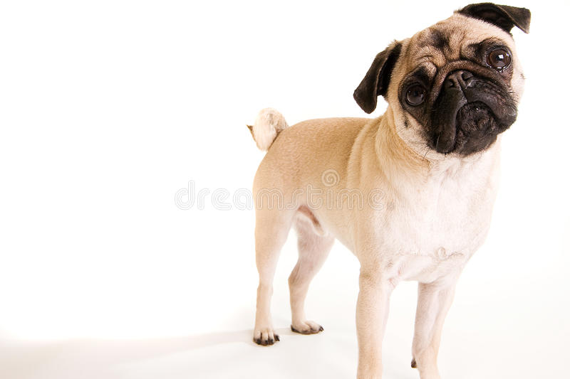 Pug. A cute Pug dog standing up on an isolated white background stock photo