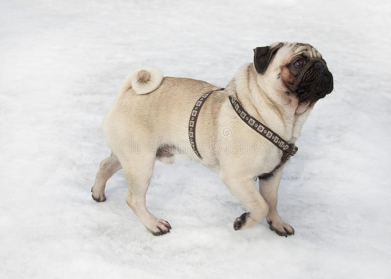 Download Pug stock image. Image of snow, animals, beige, breed - 24031777