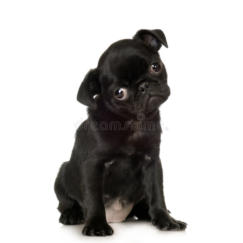 Free Pug Royalty Free Stock Image - 2765286