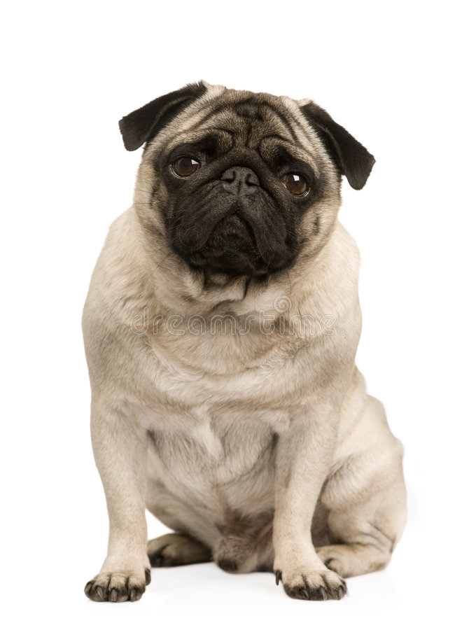 Pug (4 years) stock photo
