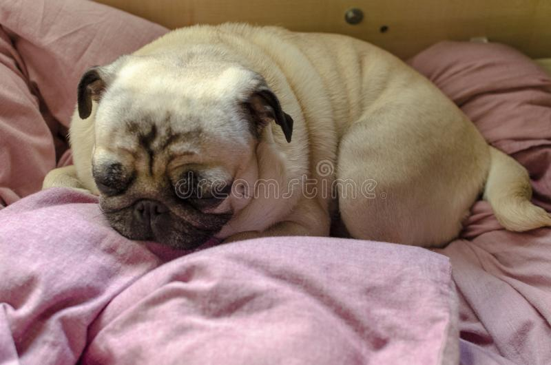 Pug bonito da raça do cão que procura um lugar confortável para dormir imagem de stock royalty free