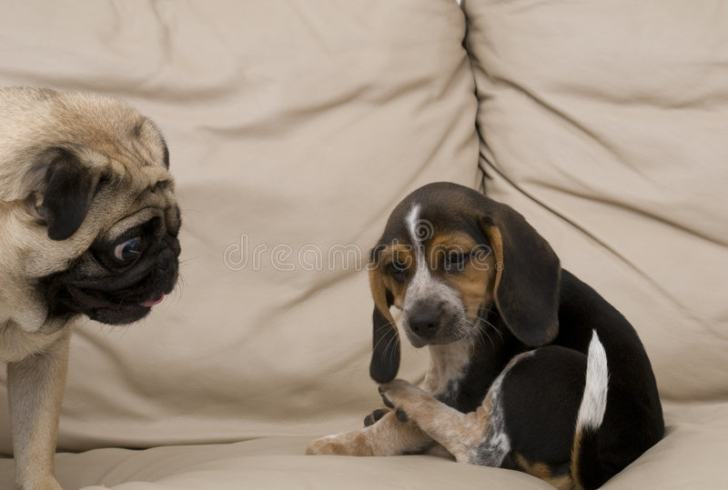 Pug che esamina il cucciolo del cane da lepre immagine stock