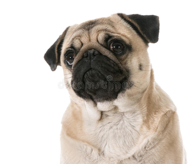 Pug che osserva in su fotografia stock libera da diritti