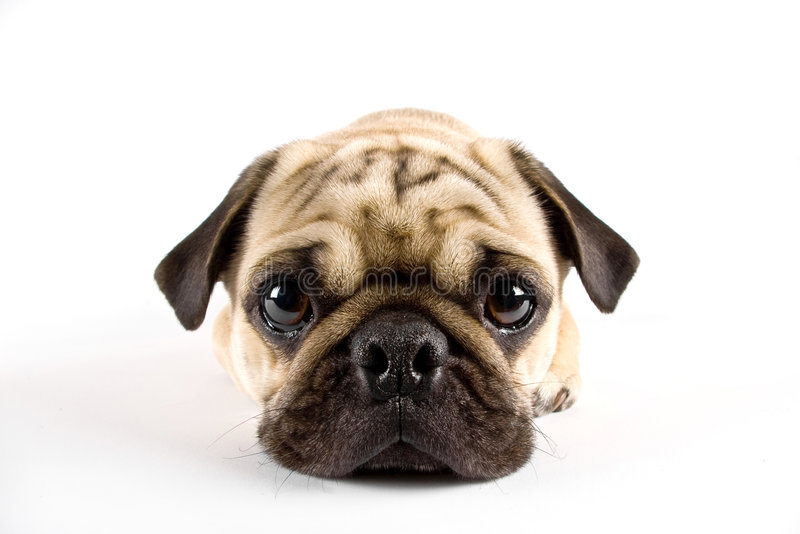 Pug close-up royalty-vrije stock fotografie
