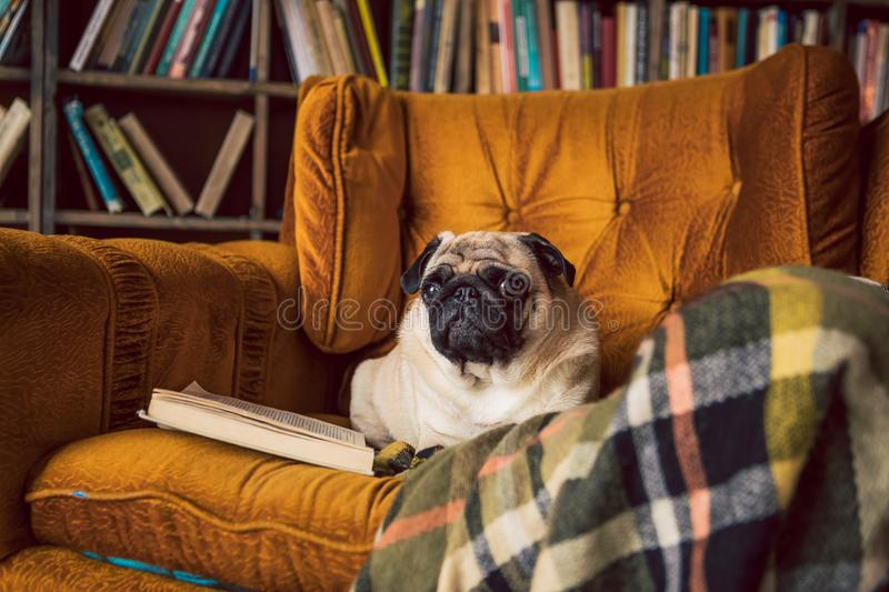 Smart reading dog. Pug comfortably lies on the chair in the library. royalty free stock images