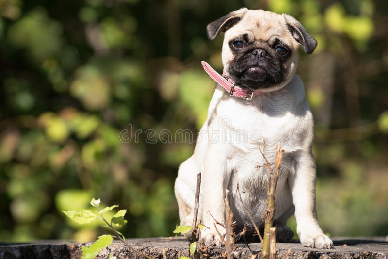 Pug. Cute baby pug in park royalty free stock photo