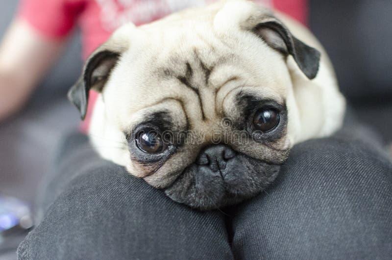 Pug da raça do cão nos joelhos mestres imagens de stock royalty free
