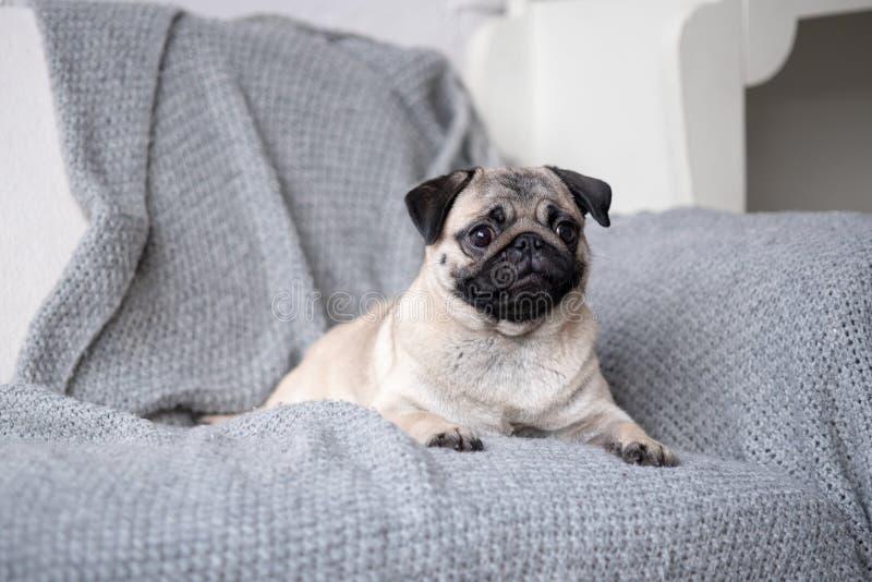 Pug da raça do cachorrinho que encontra-se no sofá imagem de stock royalty free
