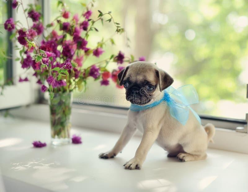 Pug del cucciolo fotografie stock libere da diritti