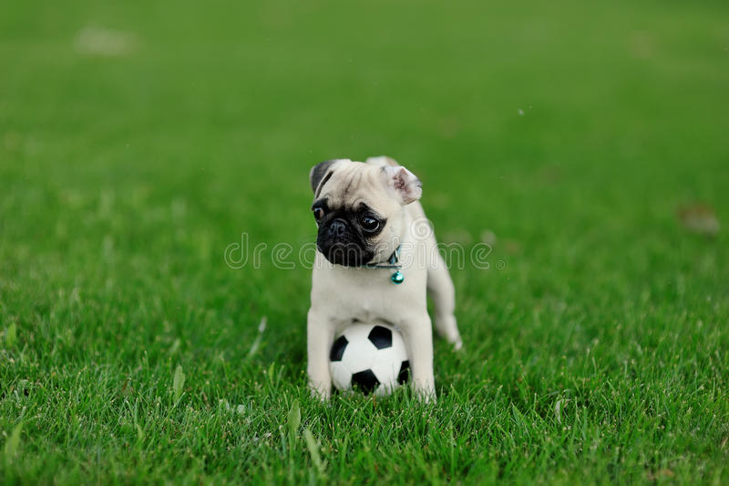 Pug del cucciolo fotografie stock