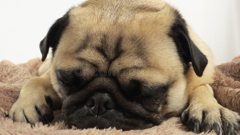 Pug, der auf Decke legt lizenzfreie stockfotografie