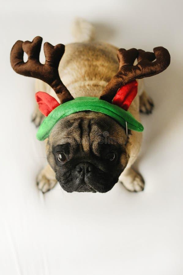 Pug, der im Weihnachtskostüm sitzt lizenzfreie stockfotos