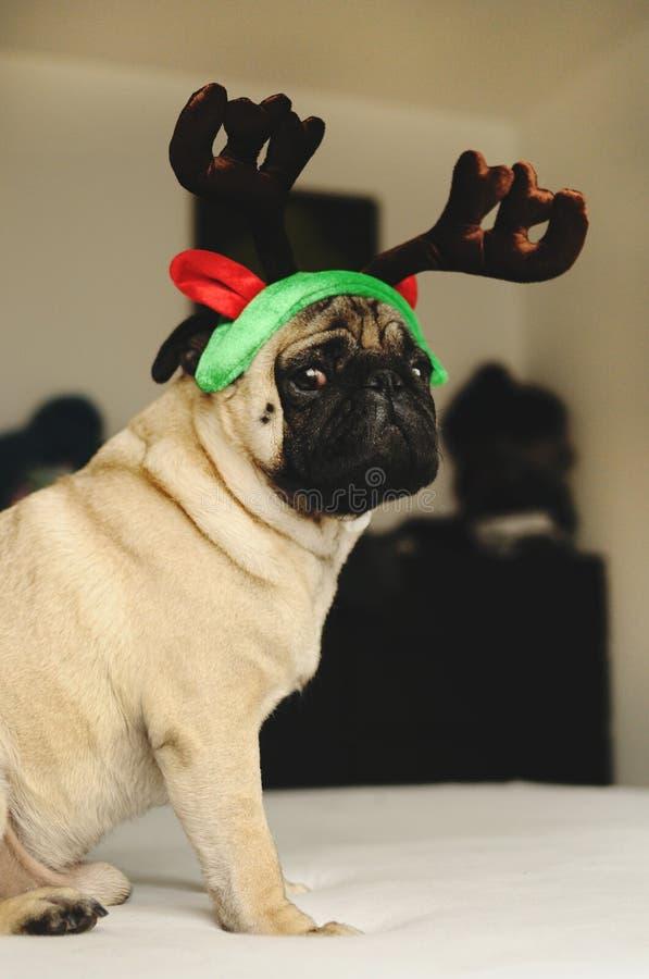 Pug, der im Weihnachtskostüm sitzt stockfotos