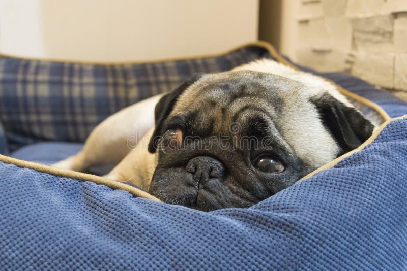Pug die in een mand dutten stock afbeelding