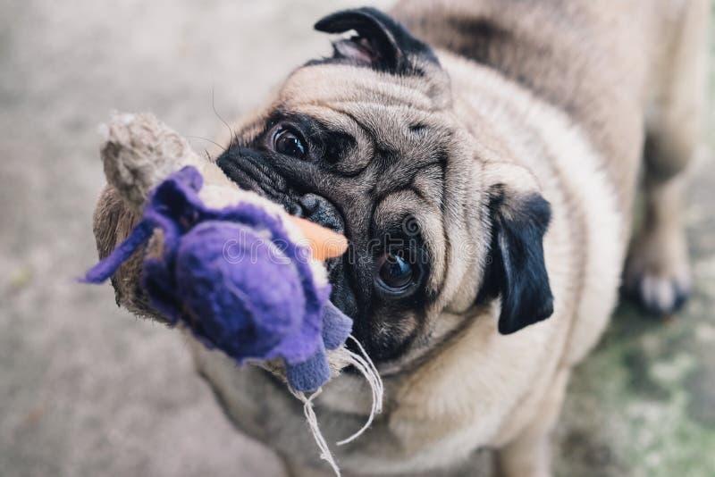 Pug do bebê Persiga o Pug Feche acima da cara de um pug muito bonito fotografia de stock royalty free