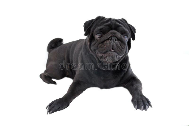 Pug do cão preto isolado no fundo branco imagens de stock
