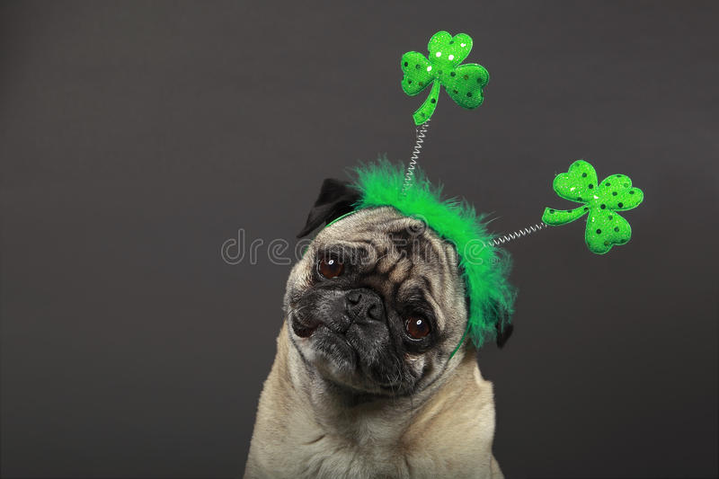 Pug do dia do St. Patrick fotografia de stock royalty free