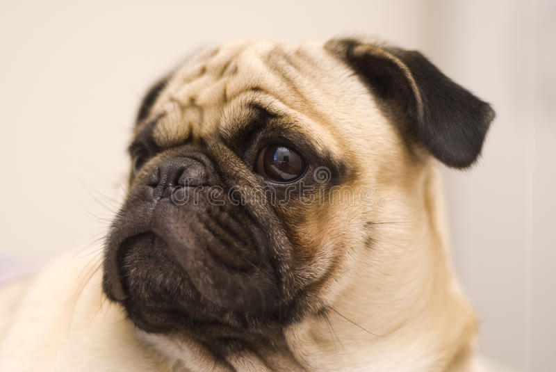 Pug dog. With alert looking stock images