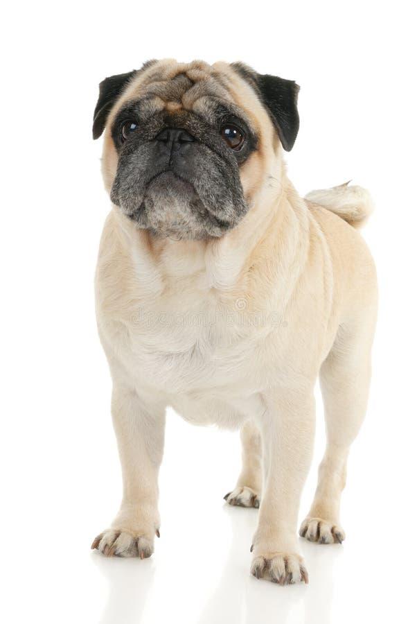 Download Pug dog stock image. Image of isolated, studio, wrinkely - 16713879