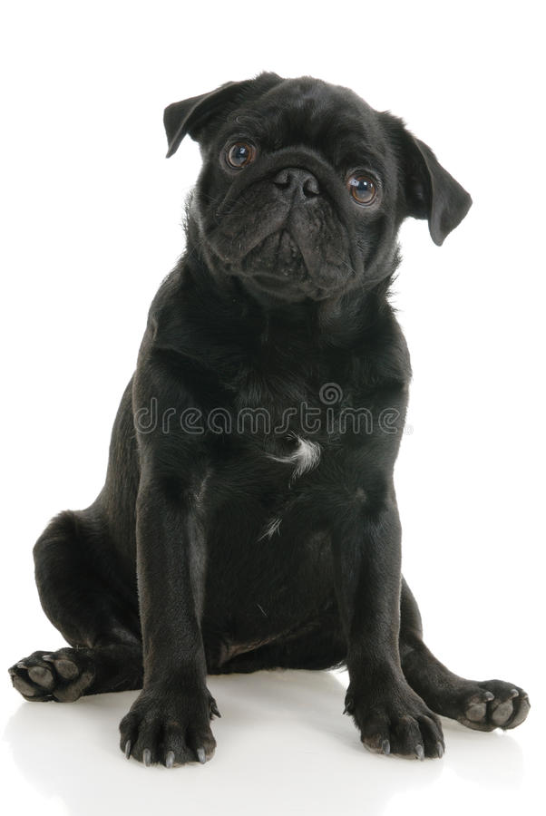 Pug dog. On a white background royalty free stock photography