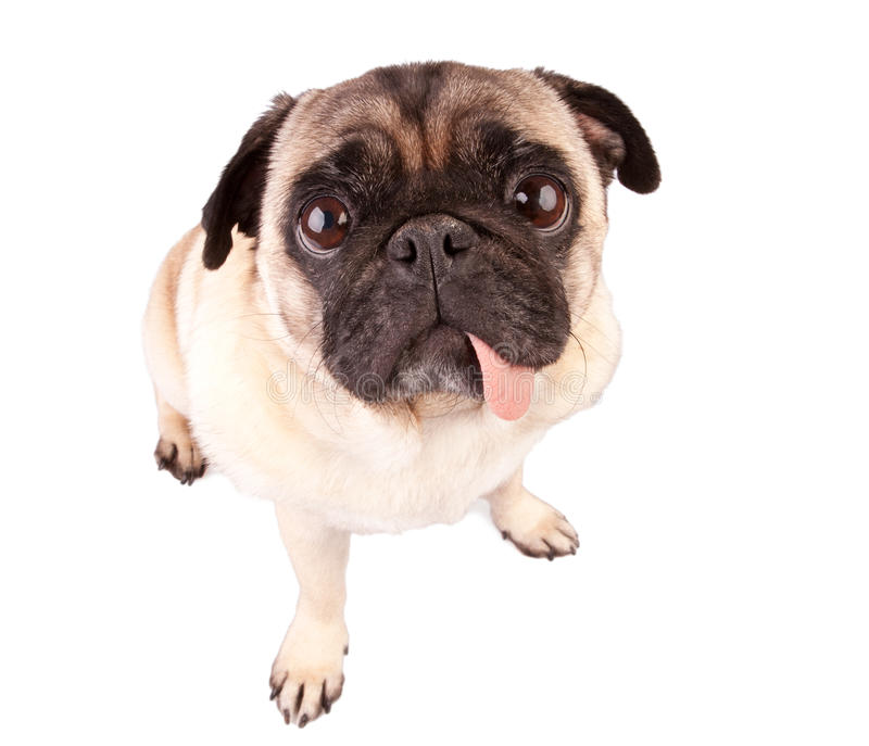 Pug dog. Hungry pug dog isolated on white background royalty free stock images