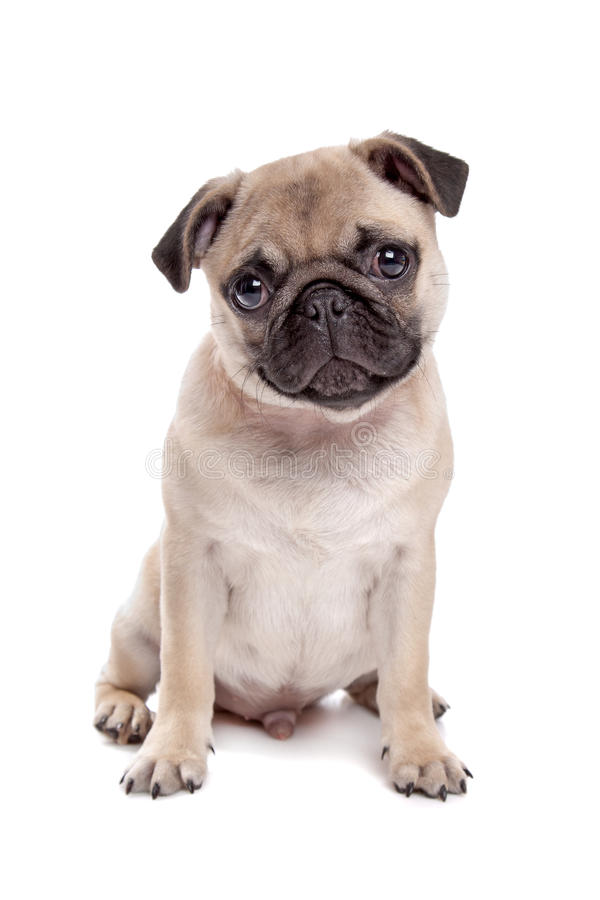 Pug dog. In front of a white background royalty free stock image