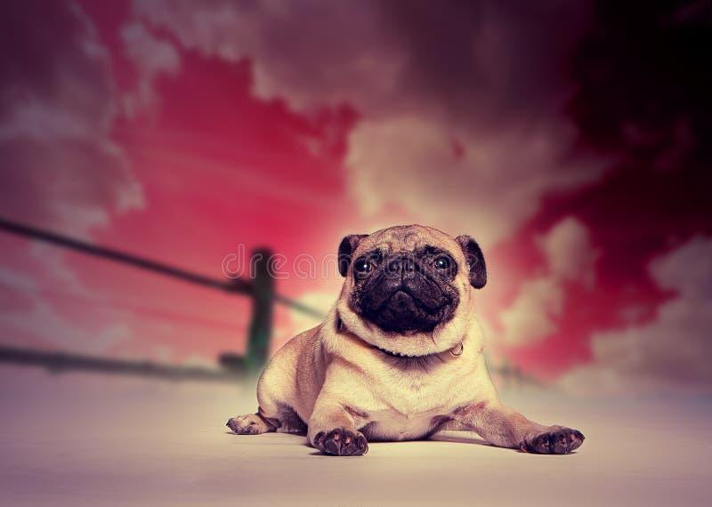 Pug Dog Against Studio Sunset Backdrop Royalty Free Stock Image