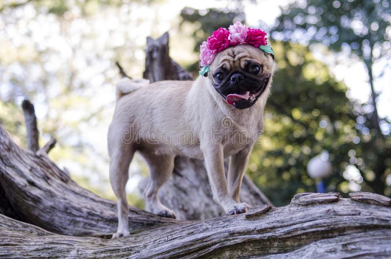 Pug dog. Beautiful puppy. Carlino dog stock photos