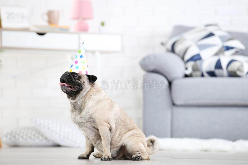 Pug dog with birthday cap. Sitting on the floor at home royalty free stock photos