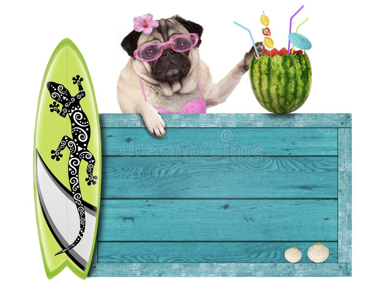 Pug dog with blue vintage wooden beach sign, surfboard and summer watermelon cocktail, isolated on white background. Bikini babe pug dog with blue vintage wooden stock photo