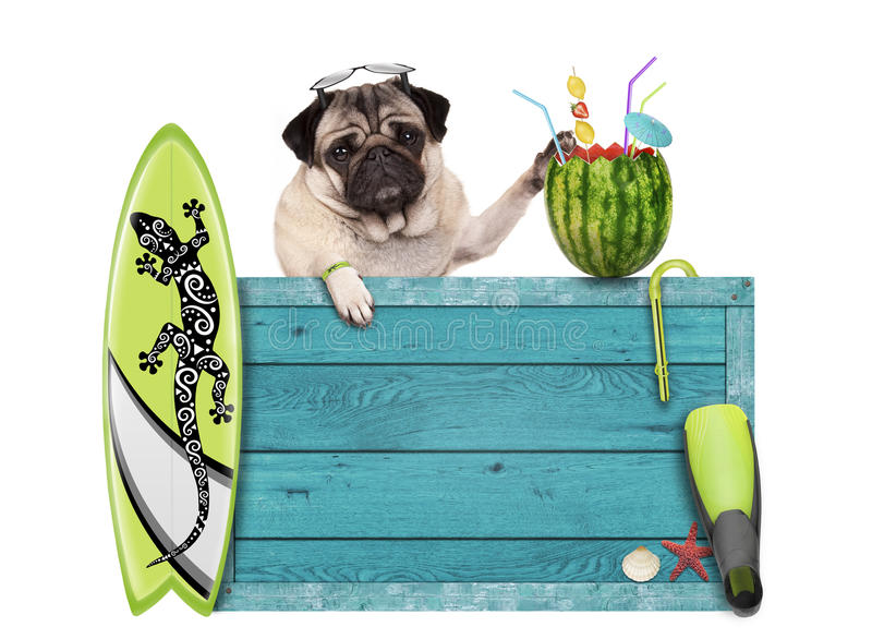 Pug dog with blue vintage wooden beach sign, surfboard and summer watermelon cocktail, isolated on white background. Cool pug dog with blue vintage wooden beach stock images