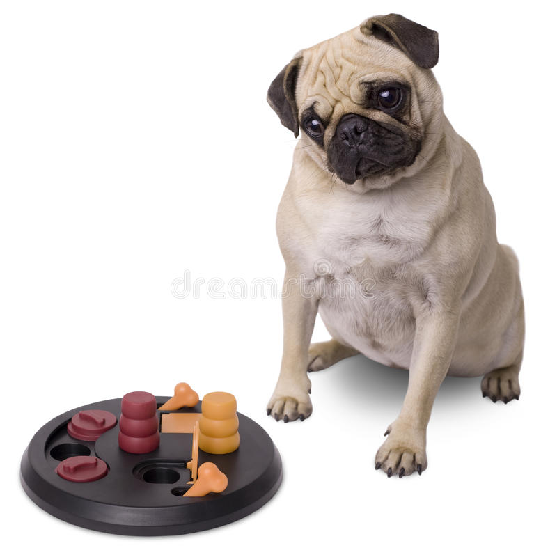 Pug dog with brain game. Isolated on white background stock photo