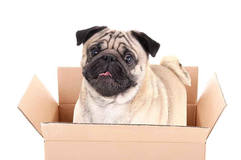 Pug dog in brown carton box isolated on white. Background stock image