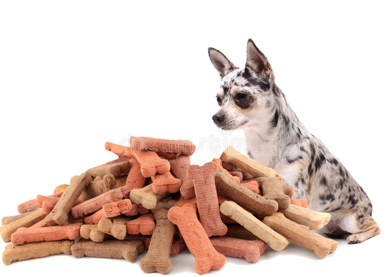 Pug and dog buiscuit treats. Little chihuahua dog stares at and sits behind large mound of dog treats on a white background stock images