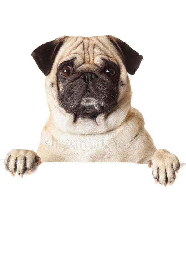 Pug dog with bunner isolated on white background. creative work for design royalty free stock photo