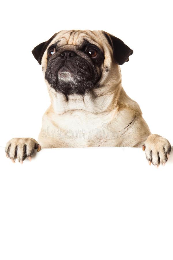 Pug dog with bunner isolated on white background royalty free stock images