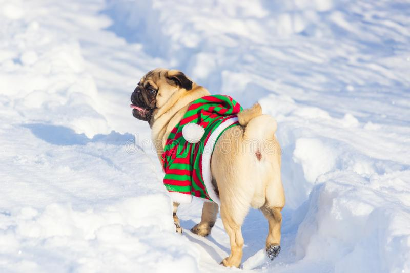 Pug Dog with Christmas elf costume run on a snow at cold winter day stock image