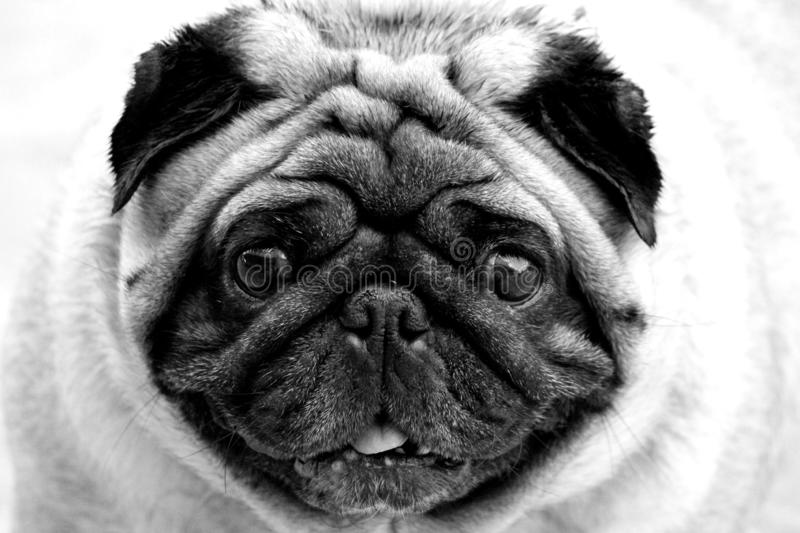 Pug dog close up shot black and white. Pug dog close up shot looking at the camera for love with its tongue out , in black & white royalty free stock images