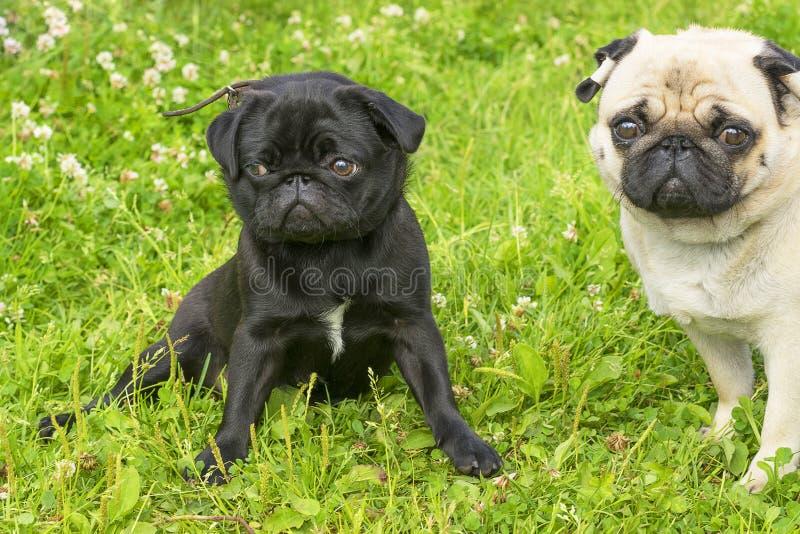 Pug dog Close-up royalty free stock photos