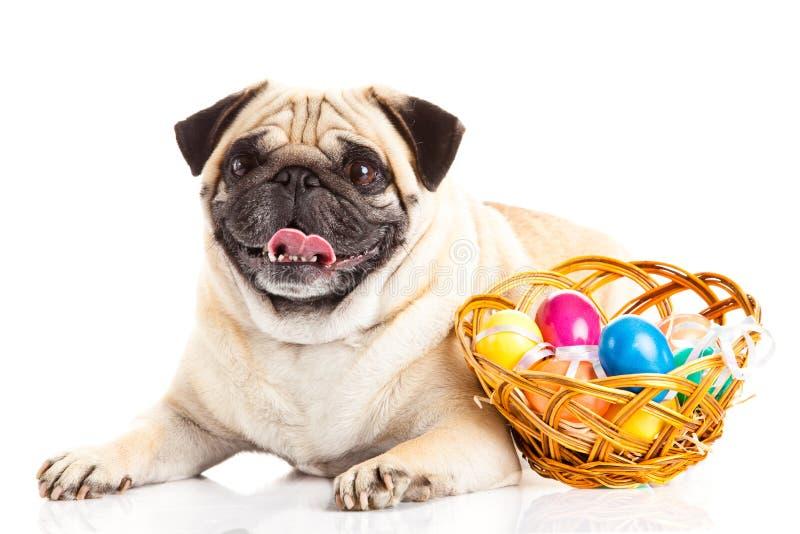 Pug dog easter eggs isolated on white background. Animal basket royalty free stock photo