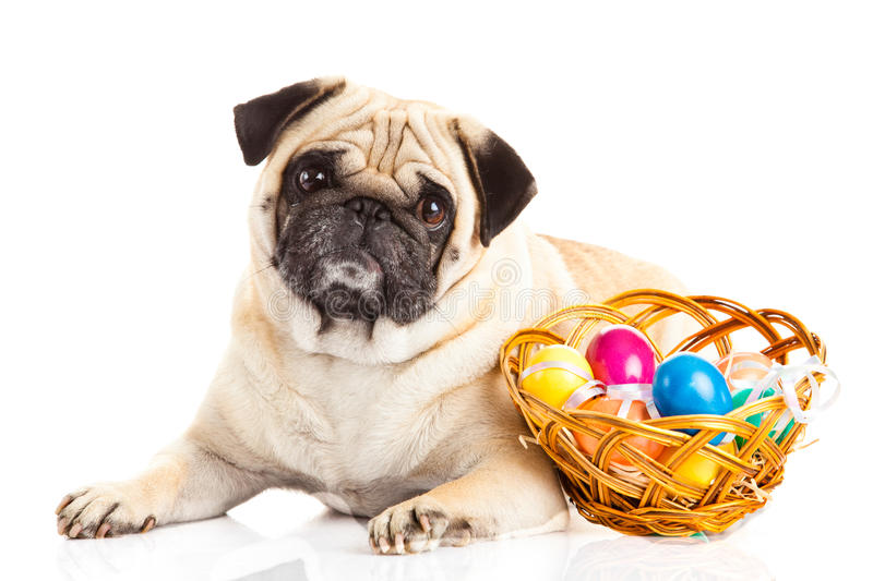 Pug dog easter eggs on white background animal. Funny royalty free stock photography