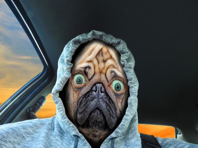 Pug dog face driver in hoodie. Photo of a pug dog face driver wearing a thermal hoodie royalty free stock photography