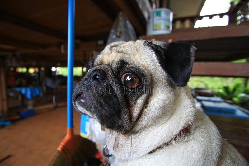 Pug dog funny face close up. On blurred background royalty free stock photography