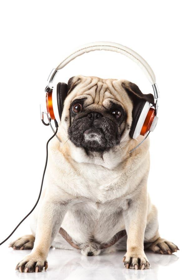 Pug dog with headphone isolated on white background music royalty free stock images