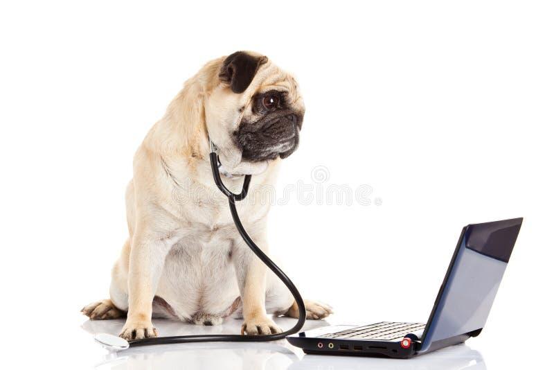 Pug dog isolated on white background doctor with computer. Pug dog isolated on white background doctor laptop postcard royalty free stock image