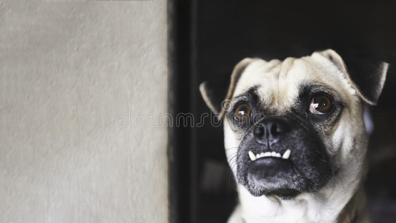 Pug dog looking up and waiting for owner coming home after working with white wall background at home. Lovely pet and cute dog. Best friend of human concept royalty free stock image
