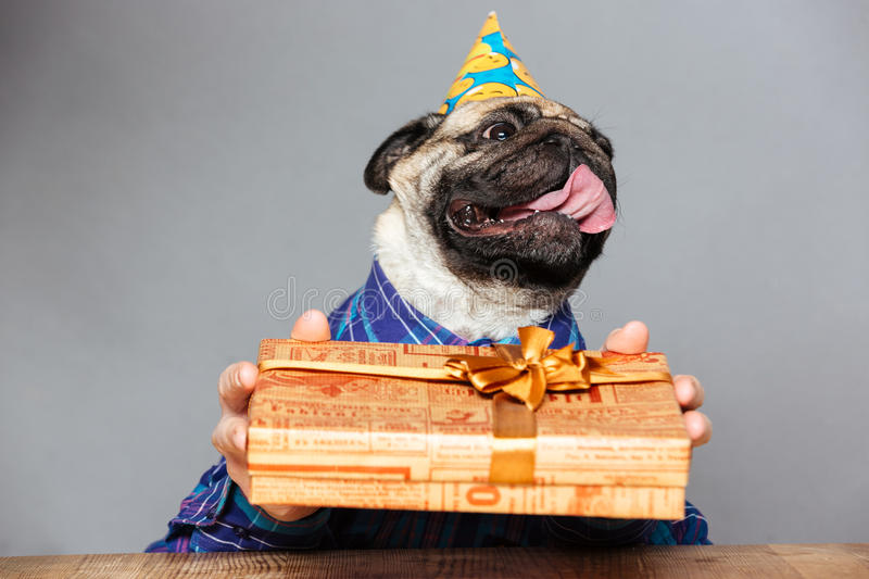 Pug dog with man hands in birthday hat holding present. Happy pug dog with man hands in checkered shirt and birthday hat holding present box grey background royalty free stock images