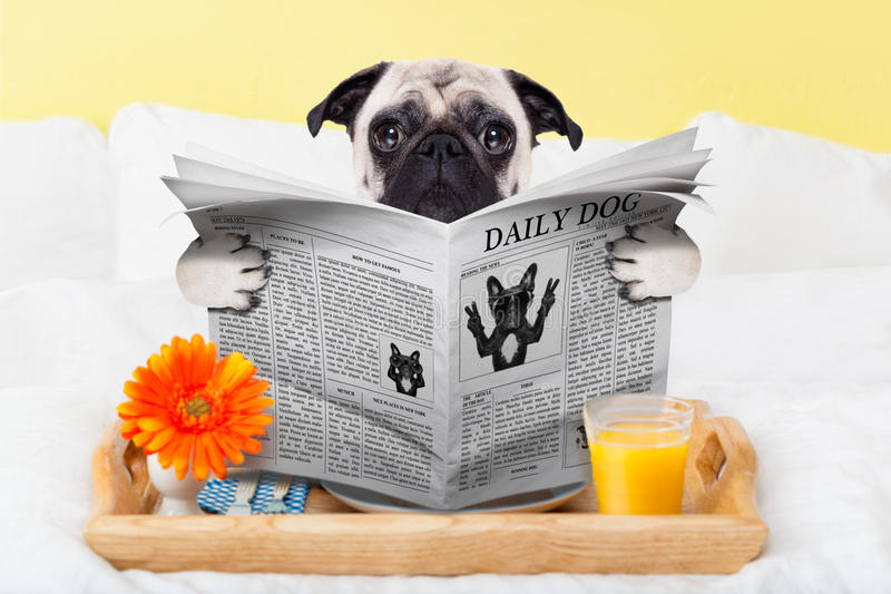 Pug dog newspaper. Pug dog reading the newspaper and having breakfast in bed stock photos